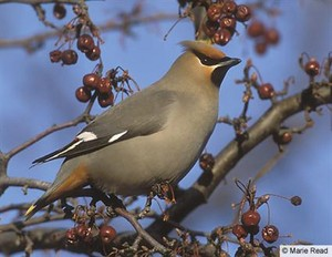 bohemian waxwing on a cranberry baum