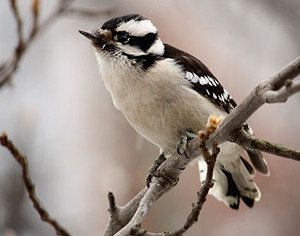 another female downy woodpecker