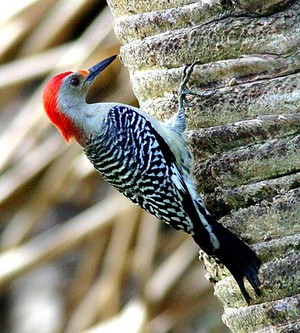 red bellied woodpecker on a mti