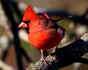 male cardinal perched on a 나무, 트리 branch