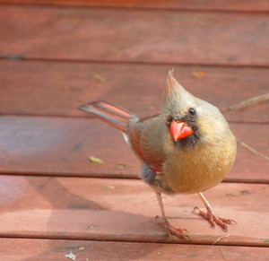 female cardinal on the back porch