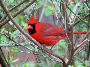 male cardinal in the woods