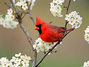 male cardinal in the spring