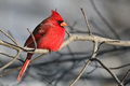 male cardinal on a tree branch