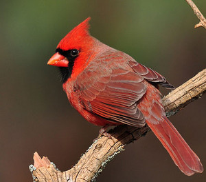 male cardinal on a 나무, 트리 branch