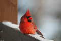 male cardinal on a wooden fence