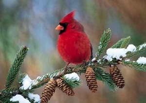 male cardinal on a pine 나무, 트리
