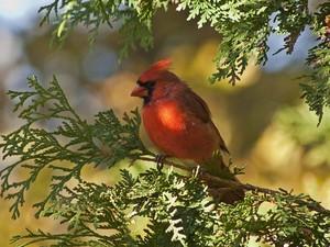 male cardinal on a 나무, 트리
