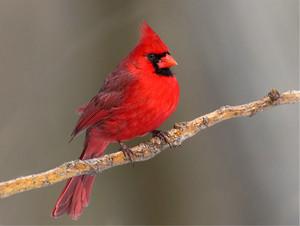 Cardinal on a 나무, 트리 branch