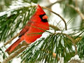 Cardinal male on a tree with snow on it