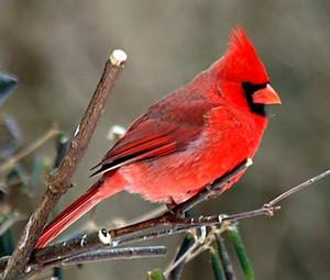 Cardinal on a boom limb