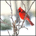 Cardinal in the falling snow