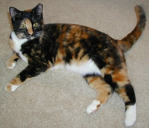 Beautiful Calico Cat
