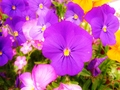 colorful flowers - flowers photo