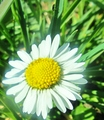 pretty daisy - flowers photo