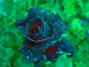 beautiful,rose