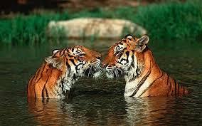 Cute 虎 represent India