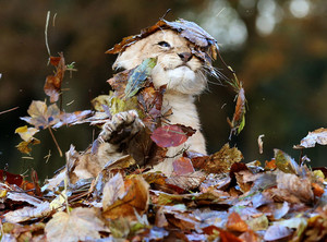 Karis,the lion cub playing in the leaves