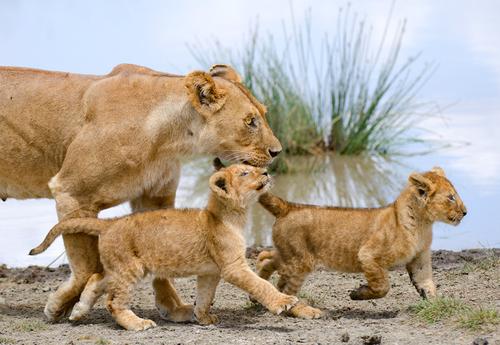ライオンの親子2