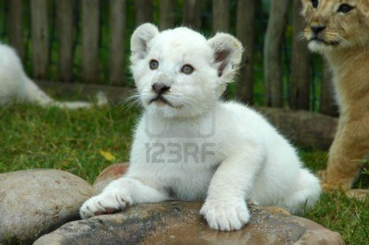 Cute White Lion Cubs Wallpapers