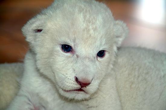 cute and rare white lion cub - Lion cubs Photo (36185803 ...