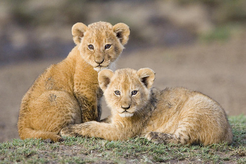 Cute Lion Pictures The Best Lion Of 2017