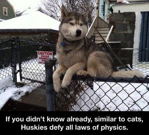Husky dog on a fence
