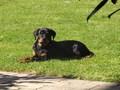 Rottweiler Aira - rottweiler photo