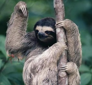 Sloth in a árvore