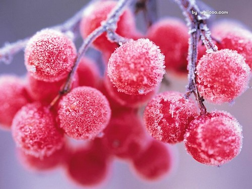 Winter wallpaper with a japanese apricot, a vinifera, and a camellia entitled Winter Berries