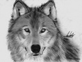 Black and Withe  - wolves photo