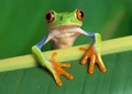 Tree frog  - wildlife photo