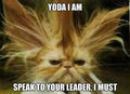 yoda cat - fanpop-pets fan art