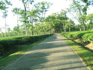 trà cây Shanto