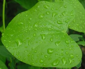 Rain Drop Shanto