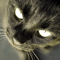 Beautiful Black Cat Up Close - cats photo