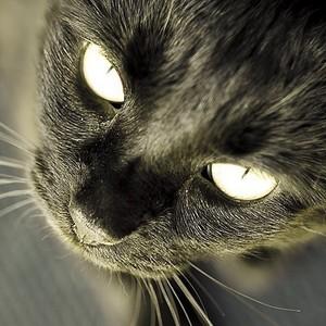 Beautiful Black Cat Up Close