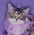 Kitty Princess - cats photo