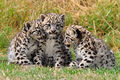 Snow Leopard Cubs - cats photo