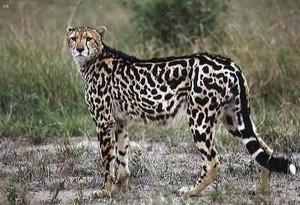 the k cheetah