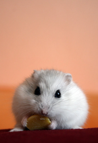 Hamsters wallpaper possibly with a hamster titled Hamster
