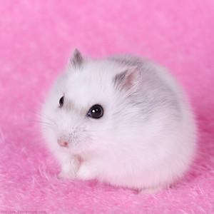 chuột đồng, hamster