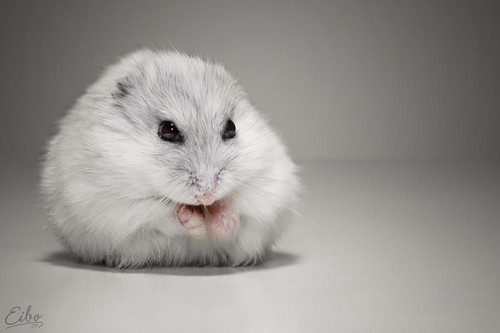Hamsters wallpaper possibly containing a hamster entitled Hamster