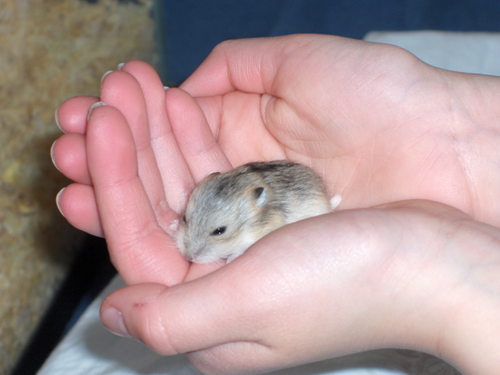 Hamsters wallpaper possibly with a hamster entitled Baby Hamster