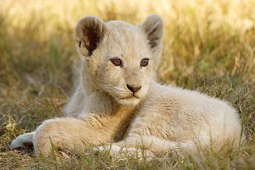 Lion Cubs Images Cute Lion Cubs Wallpaper And Background Photos