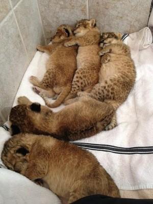 Newborn lion cubs