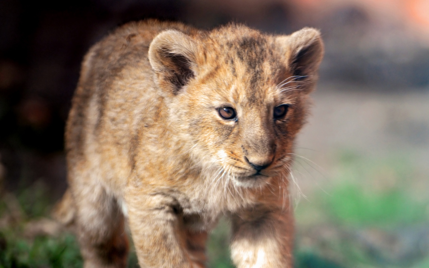 Lion cubs images Cute lion cub HD wallpaper and background photos