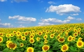 Sunflowers Wallpaper - random wallpaper