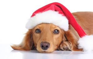 Dog Рождество
