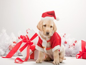 santa Dog natal